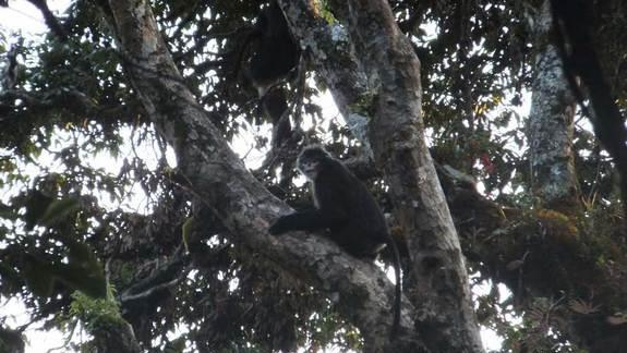 Elusive Sneezing Monkeys Photographed in a First