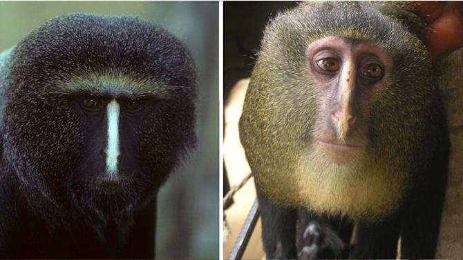Undated images released by the Public Library of Science and available Thursday Sept 13 2012 show a captive adult male Cercopithecus hamlyni, left, and an adult male Cercopithecus lomamiensis, right. Researchers have identified a new species of African monkey, locally known as the Lesula, right, described in the Sep. 12 issue of the open access journal PLOS ONE. This is only the second new species of African monkey discovered in the last 28 years. The monkey bears a resemblance to the owl faced monkey, left, but its coloration was unlike that of any other known species. (AP Photo/ Public Library of Science, Noel Rowe (left) and Maurice Emetshu, right)