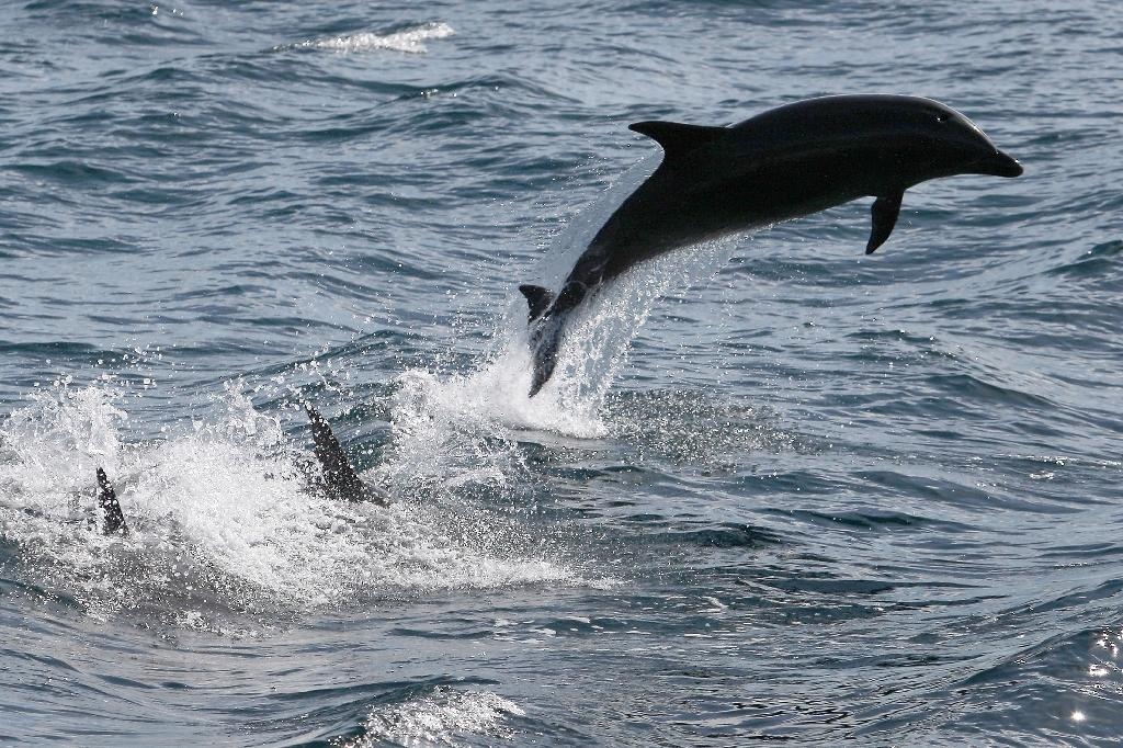 Solomon Islands dolphins pay heavy price for teeth