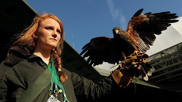 Rufus the Hawk, a Wimbledon Fixture, Stolen (ABC News)
