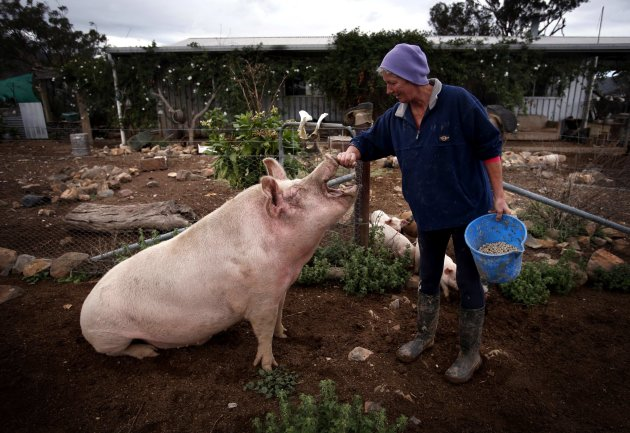 Farmer Haynes rubs the snout of her favourite pig named 'Peanut' outside her home on her property known as 'Pigsville' in Mudgee