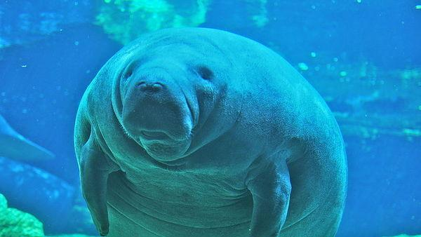 Why Is It Illegal To Ride a Manatee?