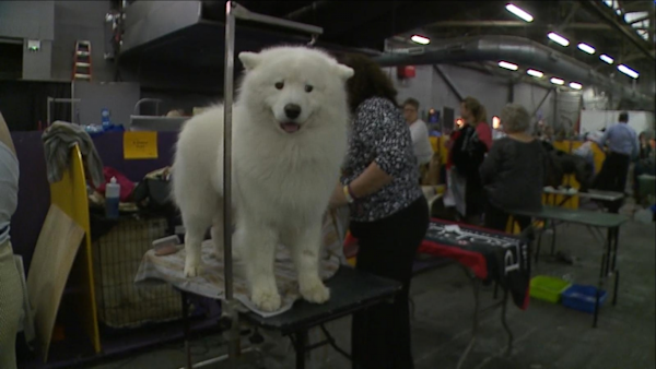 content news Wausau dog ready to compete at Westminster .