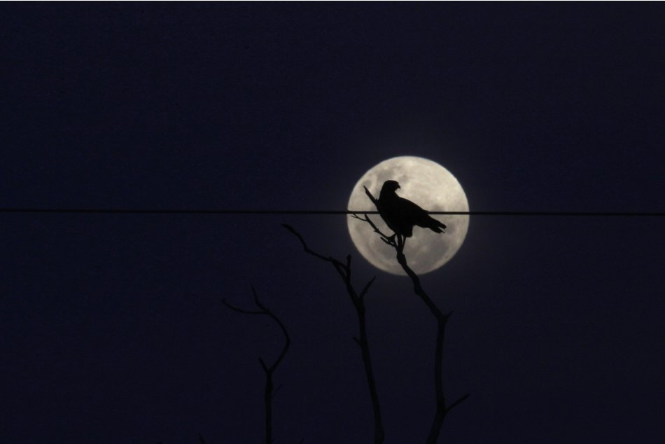 A bird perches on a tree in front of the full moon in the Yawalapiti village at the Xingu National Park