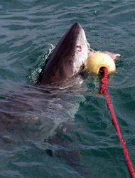 A great white shark is seen attacking a bait off Gansbaai, about 165 km from Cape Town, on September 16, 1998. Great white sharks, the world's largest predatory fish, eat three to four times more food than previously thought, an Australian study shows