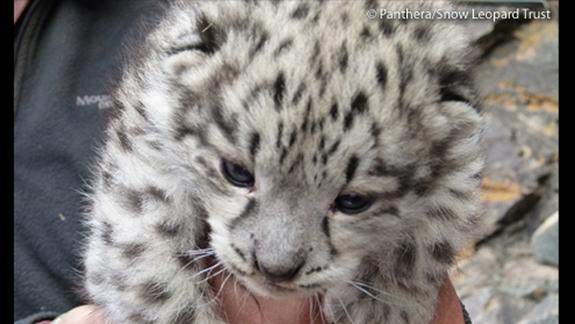 Surprising Ally For Snow Leopards: Buddhist Monks
