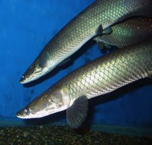 Giant Amazon Fish Species Discovered