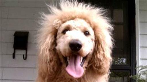 Adorable Labradoodle Mistaken for Lion