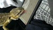 Bearded Dragon Plays 'Ant Crusher' on Smart Phone