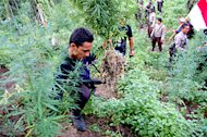 Polisi Temukan 5 Hektar Kebun Ganja di Lhokseumawe