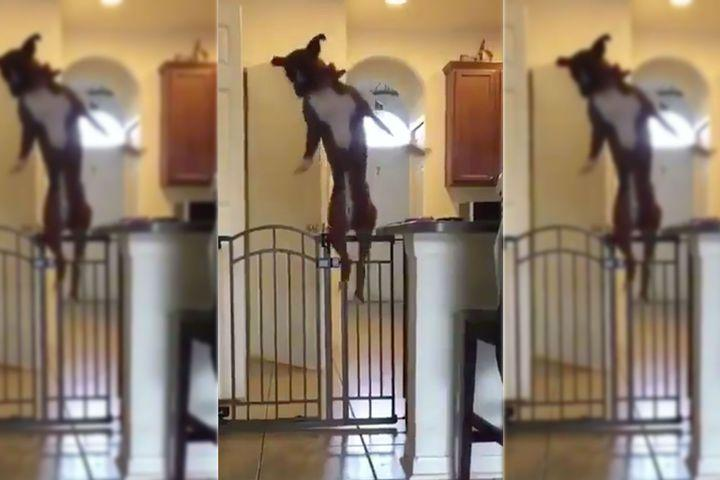 Graceful dog jumps over doggy gate like it's NBD