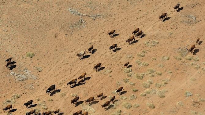 File photo of cattle walking near a dry river bed on a farm near Port Hedland