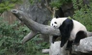 Liver Failure Blamed For Panda Cub's Death