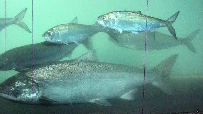 A sockeye salmon, left, swims pass a chinook salmon, center front, and shad, above, at the fish counting window at the Bonneville Dam, Wednesday, June 27, 2012, near Cascade Locks, Ore. Record numbers of sockeye salmon are returning to the Northwest's Columbia Basin, with more than 400,000 expected this year. (AP Photo/Rick Bowmer)