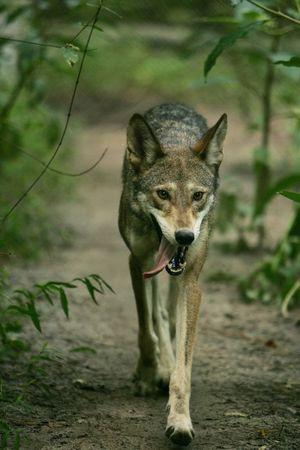 Conservationists protest killing of endangered North Carolina red wolves