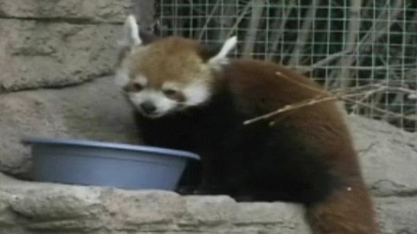 Denver Zoo gets new red panda