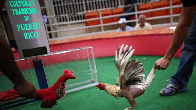In this Friday, July 6 2012 photo, a cockfight judge, left, taunts a gamecock with a fake stuffed rooster to get it riled before the start of a battle at Las Palmas, a government-sponsored cockfighting club in Bayamon, Puerto Rico. The island territory's government is battling to keep the blood sport alive, as many matches go underground to avoid fees and admission charges levied by official clubs. Although long in place, those costs have since become overly burdensome for some as the island endures a fourth year of economic crisis.  (AP Photo/Ricardo Arduengo)
