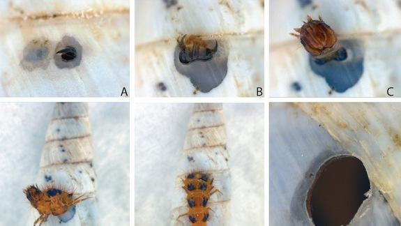 Squatter Beetles Eat Snails and Steal Shells