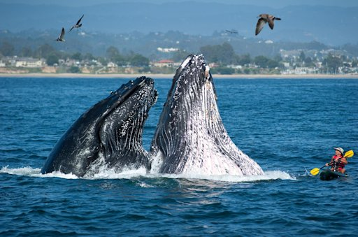 In an Oct. 25, 2011 photo provided by the Santa Cruz Conference and Visitors Council, kayaker Alan Brady is surprised by two breaching humpback whales while kayaking off the coast of Seabright State Beach in Santa Cruz, Calif. Photographer Paul Schraub was shooting pictures from a boat while on assignment for the Santa Cruz Conference and Visitors Council when he captured the moment. (AP Photo/Santa Cruz Conference and Visitors Council , Paul Schraub)