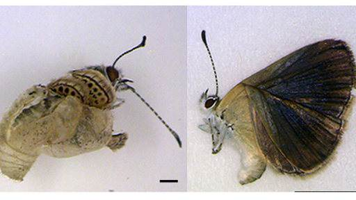 Mutant Butterflies Linked to Japan's Nuclear Disaster