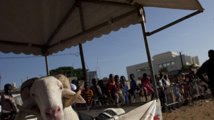 "In this Wednesday, Oct. 3, 2012 photo, competitor Boy Serere waits in his stall during the SICAP neighborhood regional final of the Khar Bii competition, which seeks to find the finest sheep in Senegal ahead of the upcoming Eid al-Adha festival, in Dakar, Senegal. Boy Serere went on to win his regional and will advance to the national final on Oct. 20. In a nation where sheep are given names and kept inside homes as companion animals, the most popular show on television is ""Khar Bii,"" or literally, ""This Sheep"" in the local Wolof language. It's an American Idol-style nationwide search for Senegal's most perfect specimen. (AP Photo/Rebecca Blackwell)"