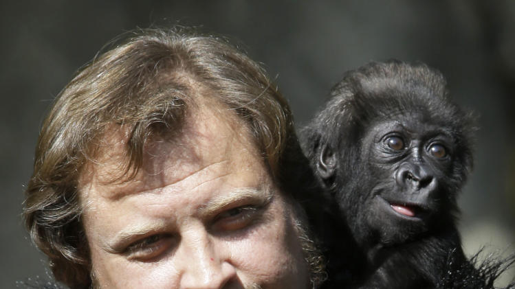 Silverback and primate center team leader Ron Evans carries a three-month-old western wowland gorilla named Gladys into the outdoor gorilla exhibit for her first time, Tuesday, April 30, 2013, at the Cincinnati Zoo in Cincinnati. The baby gorilla was born Jan. 29 at a Texas zoo to a first-time mother who wouldn't care for her. Zoo workers and volunteers are acting as surrogate mothers to prepare the baby to be introduced to two female gorillas at the Cincinnati Zoo who might accept her. Humans acting as surrogate mothers wear vests and materials to make them appear more like a gorilla. (AP Photo/Al Behrman)