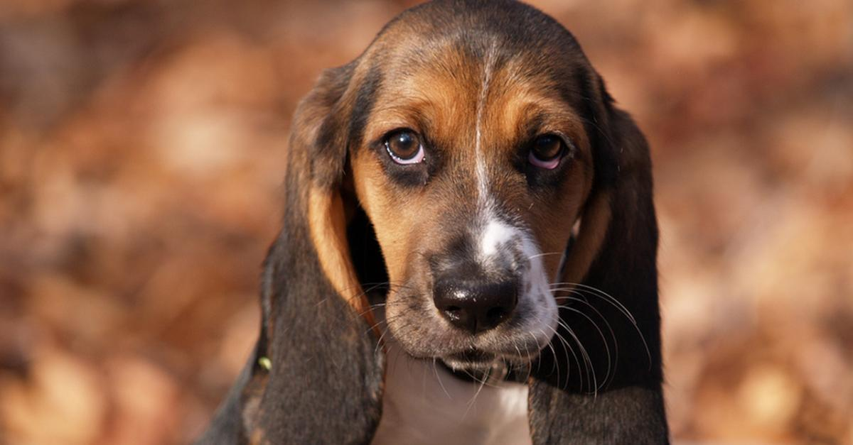 13 Basset Hound Puppies That Will Make You Smile