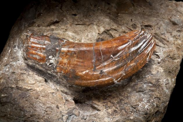 Iguanodon teeth – around 137 million years old, these teeth were discovered by Mary Ann Mantell in 1822. They were the first dinosaur teeth to be found and provided evidence to support the theory that