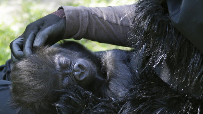 Ashley Chance pets a three-month-old western lowland gorilla named Gladys as she sleeps in her lap Tuesday, April 30, 2013, at the outdoor gorilla exhibit at the Cincinnati Zoo in Cincinnati. The baby gorilla was born Jan. 29 at a Texas zoo to a first-time mother who wouldn't care for her. Zoo workers and volunteers are acting as surrogate mothers to prepare the baby to be introduced to two female gorillas at the Cincinnati Zoo who might accept her. Humans acting as surrogate mothers wear vests and materials to make them appear more like a gorilla. (AP Photo/Al Behrman)