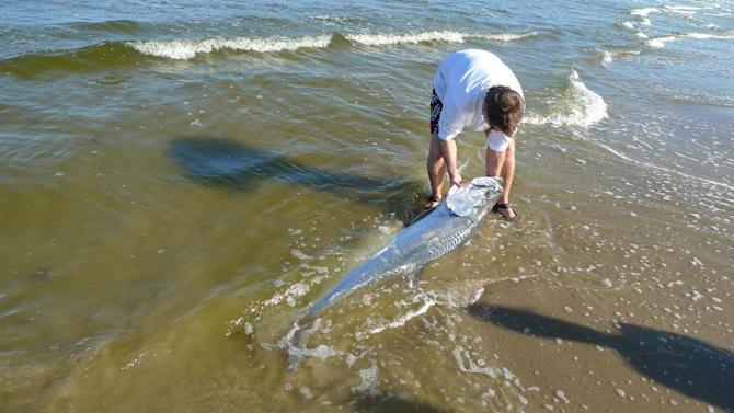 In this Saturday, Oct. 15, 2011 photo provided by Texas AgriLife Extension Service, Red Tide Ranger Dr. Richard Kline, with the University of Texas at Brownsville Department of Biology, examines a 6-foot tarpon that washed ashore during a red tide bloom on South Padre Island, Texas. Historic drought conditions are fueling the largest algae bloom in more than a decade along the Texas Gulf Coast, killing fish, sparking warnings about beach conditions and making throats scratchy, researchers said Monday. Officials were not sure if red tide caused the death. (AP Photo/Texas AgriLife Extension Service via The Brownsville Herald, Tony Reisinger)