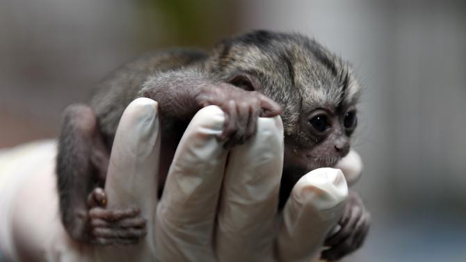 A 15-day-old night monkey clutches the fingers of a veterinarian at a temporary shelter west of Bogota, Colombia, Monday, Feb. 18, 2013.  Sponsored by Bogota's Ministry of Environment, the shelter receives between 3,000 and 3,500 wild animals a year; some seized from poachers and others found hurt. An estimated $560,000 U.S. dollars are spent in the recovery and care of these animals. Seventy percent of rescued animals are reintroduced to their habitat and the remaining 30% are sent to zoos around the country. (AP Photo/Fernando Vergara)