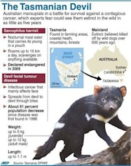 Graphic on Australia&#39;s Tasmanian Devils, rare carnivorous marsupials in a battle for survival against a contagious facial cancer. It&#39;s been hundreds of years since the Tasmanian devil last lived on the Australian mainland but, in the misty hills of Barrington Tops, a pioneering group is being bred for survival