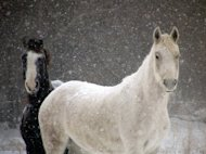 The horses posing in a snowstorm.