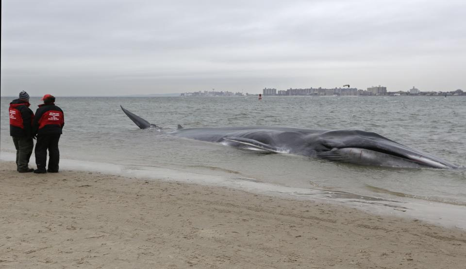 An emaciated 60-foot finback whale that beached itself in the Breezy Point neighborhood of the Rckaways in New York, Wednesday, Dec. 26, 2012. Biologist Mendy Garron says it's unclear what caused the whale to beach itself, but its chances of survival appear slim. (AP Photo/Kathy Willens)