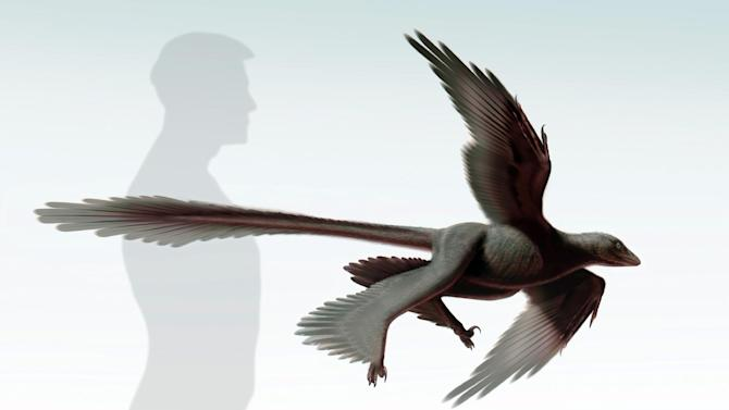 """An illustration released on July 11, 2014 by the Dinosaur Institute of the Natural History Museum of Los Angeles County shows an artist's impression of the """"Changyuraptor Yangi"""" -- a dinosaur with four feathery wing-like appendages"""