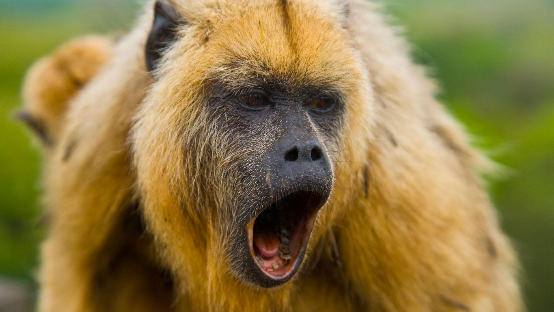 Howler monkey pops up on the streets of an Ohio suburb