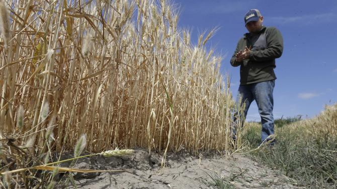FILE - In this Monday, May 18, 2015, file photo, Gino Celli inspects wheat nearing harvest on his farm near Stockton, Calif. California's drought-stricken cities set a record for water conservation, reducing usage 29 percent in May, according to data released by a state agency Wednesday, July1, 2015. (AP Photo/Rich Pedroncelli,File)