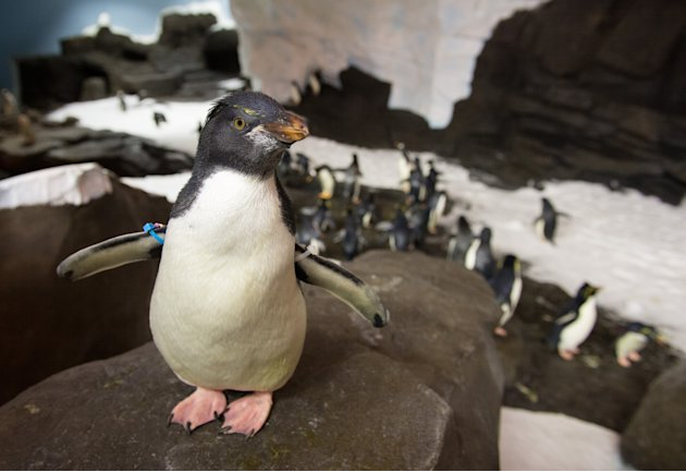 This undated image released by SeaWorld Parks & Entertainment, Inc. shows a rockhopper penguin at Antarctica: Empire of the Penguin, a new attraction at SeaWorld Orlando. The attraction opens Friday,