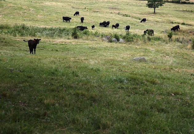 Cows graze on July 1, 2013 in Gettysburg, Pennsylvania