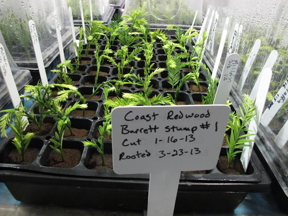 In this photo taken April 18, 2013 shows clones of coastal redwood trees in the Archangel Ancient Tree Archive laboratory in Copemish, Mich. The nonprofit group hopes to plant millions of genetic copies of ancient redwoods around the world. (AP Photo/John Flesher)