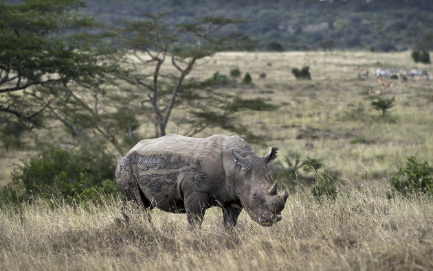 In this Thursday, Sept. 20, 2012 file photo, a white rhino grazes in Nairobi National Park, Kenya. Alarmed that rebel militias could be profiting from a sharp increase in the poaching of elephants and