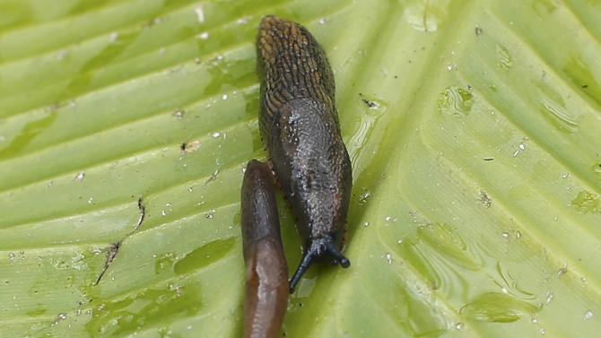 Slugs are seen on a leaf in a park in London