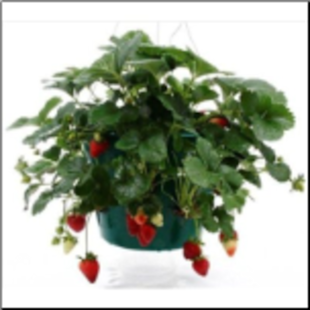 Indoor Ever Bearing Strawberry Kit