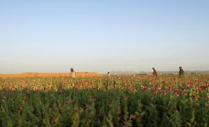 In this Saturday, April 11, 2015 photo, Afghan farmers …