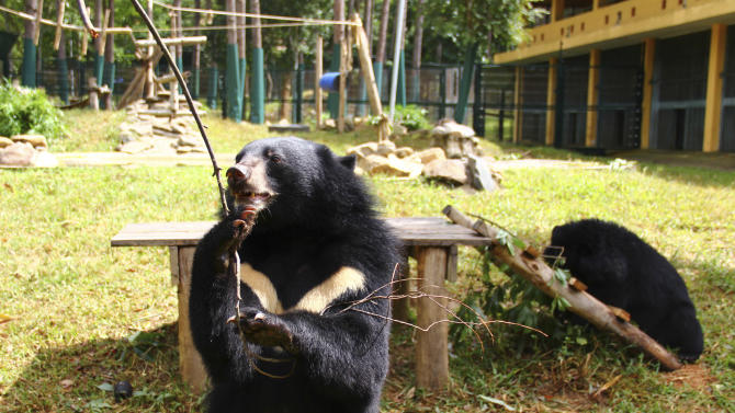 In this photo taken Oct. 29, 2012, a bear plays inside an enclosure with a stick at the Vietnam Bear Rescue Center in Tam Dao, Vietnam. The bears, some of them blinded or maimed, play behind tall green fences like children at school recess. Rescued from Asia's bear bile trade, they were brought to live in this lush national park, but now they may need saving once more. The future of the $2 million center is in doubt after Vietnam's vice defense minister in July ordered it not to expand further and to find another location, saying the valley is of strategic military interest. Critics allege the park director is urging an eviction because he has a financial stake in a proposed ecotourism venture on park property - accusations he rejects. (AP Photo/Mike Ives)