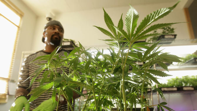 In this Feb. 1, 2011 photo, Harborside Health Center employee Gerard Barber stands behind medical marijuana clone plants at Harborside Health Center in Oakland, Calif. Law and order may soon be coming to the Wild West of Weed. A California lawmaker has introduced legislation to regulate the state's free-wheeling medical marijuana industry, the farmers that grow the drug, the hundreds of storefront shops that sell it and especially the doctors who write recommendations allowing people to use it. (AP Photo/Jeff Chiu)