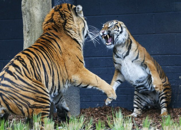 Melati, a four year old Sumatran Tiger and Jae Jae, her five year old male companion face off in their new 2,500 square meter enclosure at London Zoo
