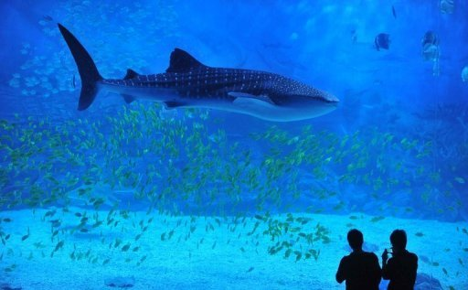 Sharks inhabiting Australia's …