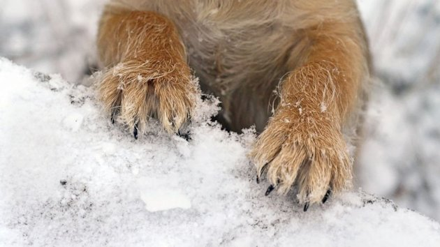 A Dog's Best 'Pawtection' From Cold Weather and Salt (ABC News)