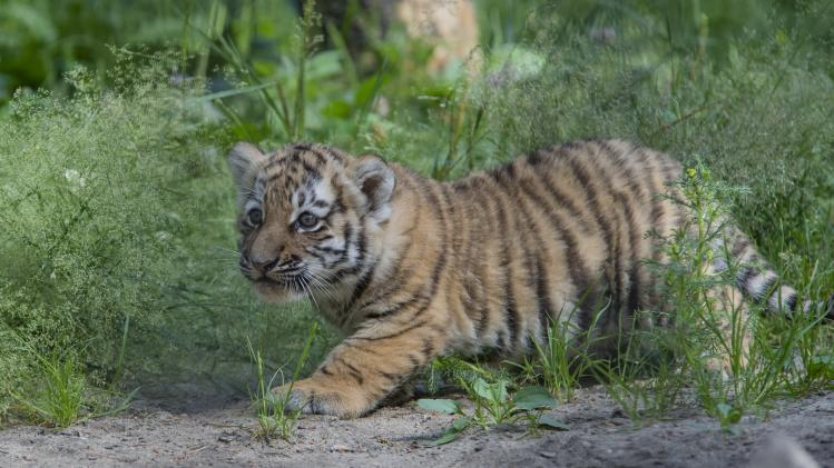 An Amur tiger cub walks at the Novosibirsk Zoo, about 2,800 kilometers (1,750 miles) east of Moscow, Russia, Thursday, July 10, 2014. Four Amur tiger cubs were born in the Novosibirsk Zoo on May 25, 2014. Russia's government and environmental organizations say they launched a major international campaign to protect the endangered Amur tiger and begin increasing its population. (AP photo/Ilnar Salakhiev)